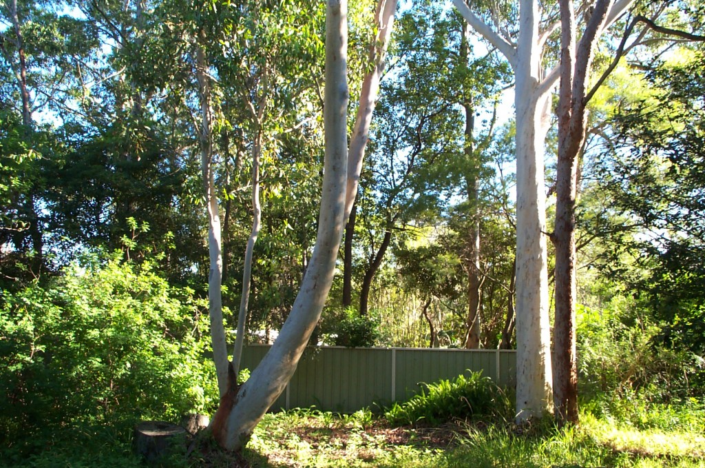 Eucalyptus trees in our back yard - bottom