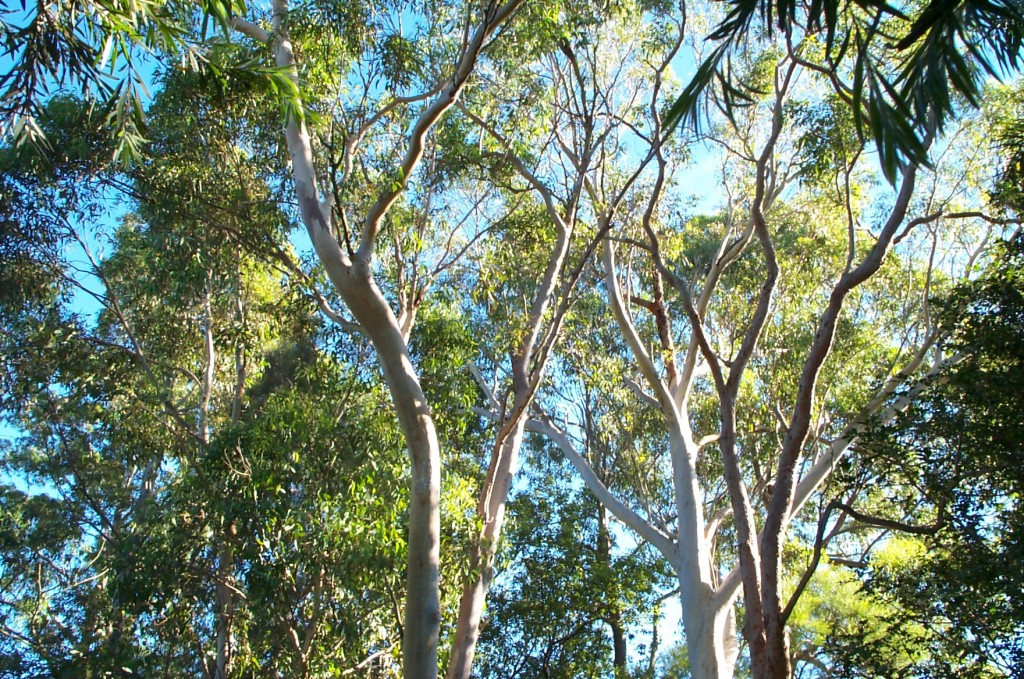 Eucalyptus trees in our back yard - top