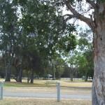 flowering paperbark tree