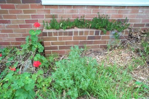 Jelly Bean Plant, Geranium et al