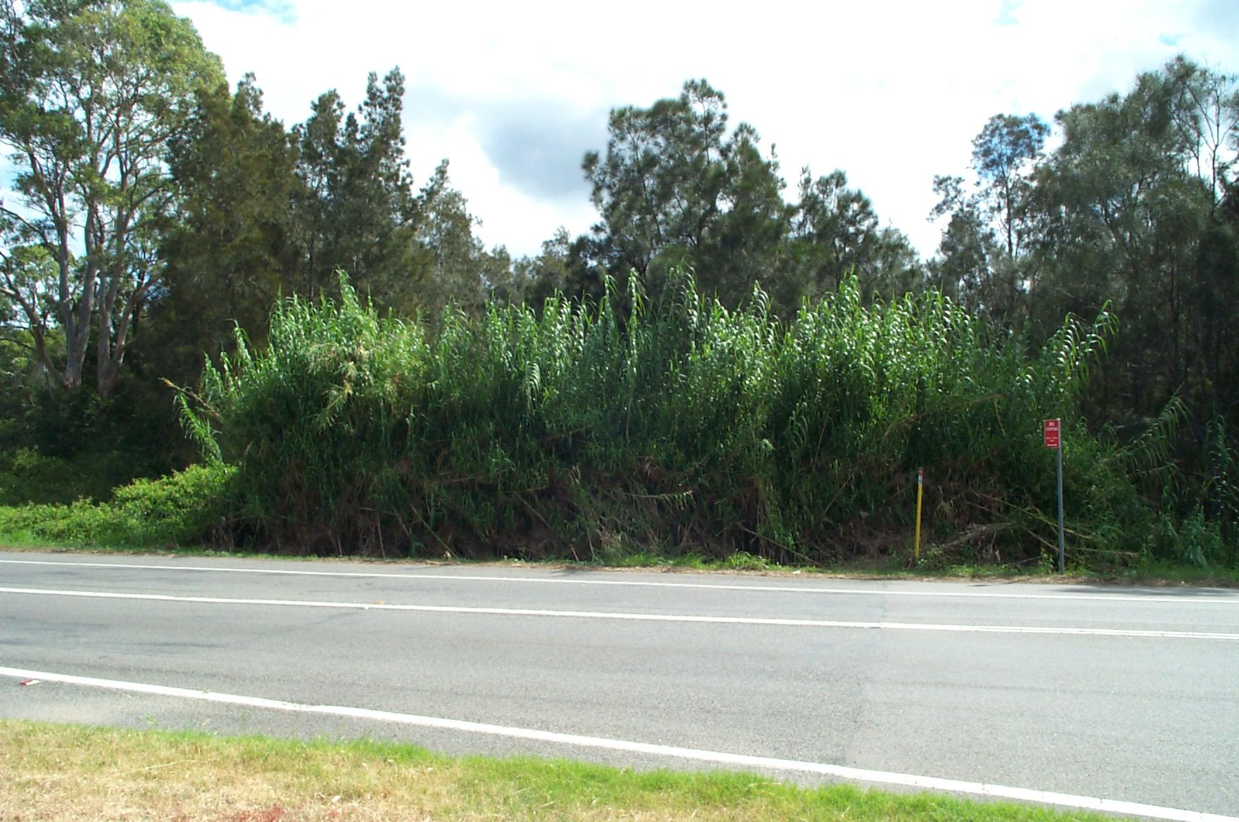 very big grass