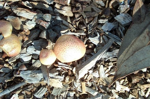 bespeckled mushrooms